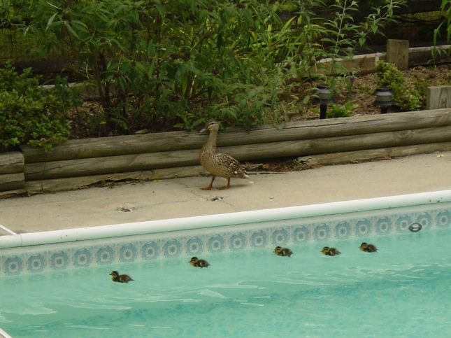 Ducklings in the pool; they were to little to get out.