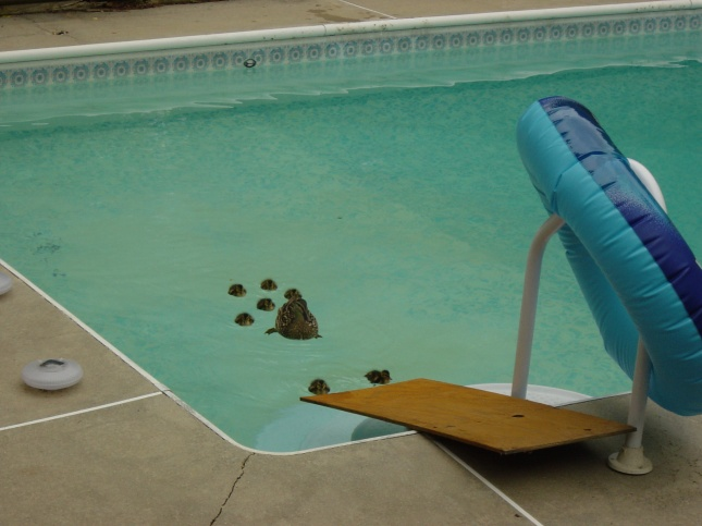 Getting the ducklings out of the pool
