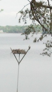 My empty Osprey nest Baby's have fledged