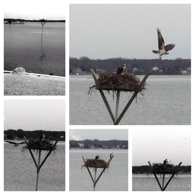 Osprey Collage 2014