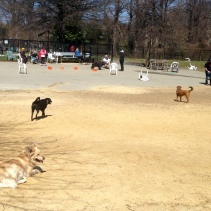 It's black dog day at the park except for me at the brown dog.