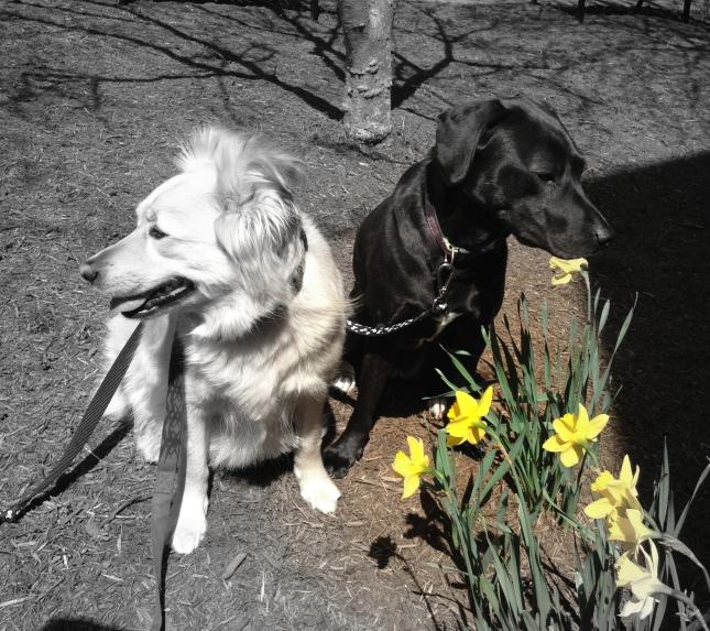 dogdaz spring daffodil 4.19.15