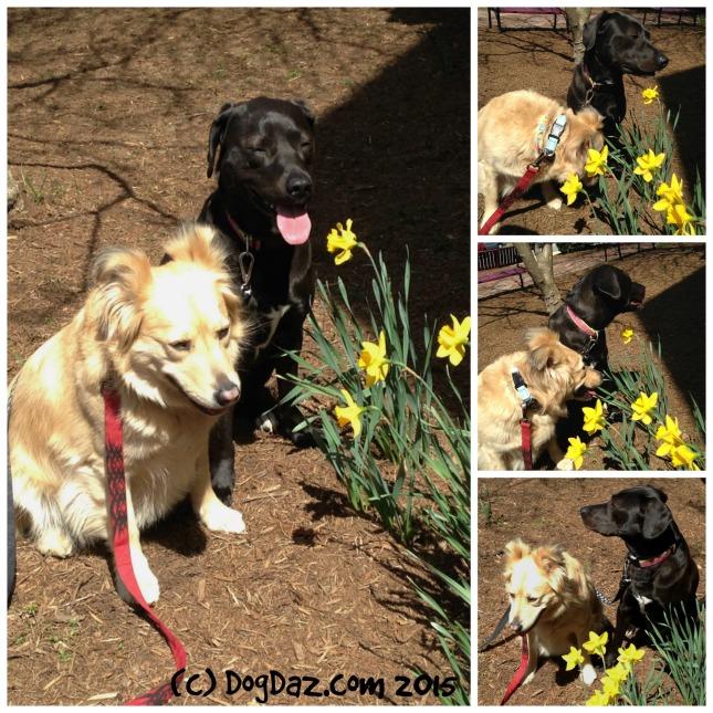 Spring daffodils WW 4.22.15