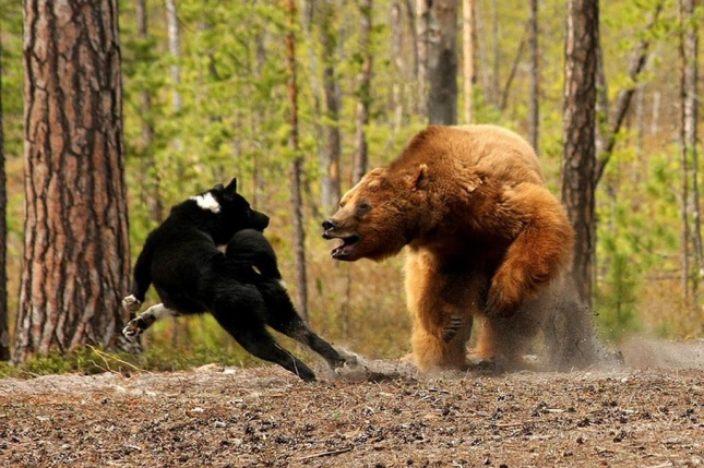 bear vs dog
