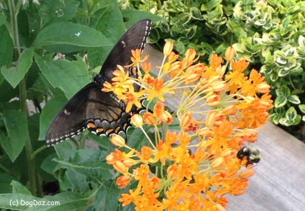 9-22-16-butterfly-weed
